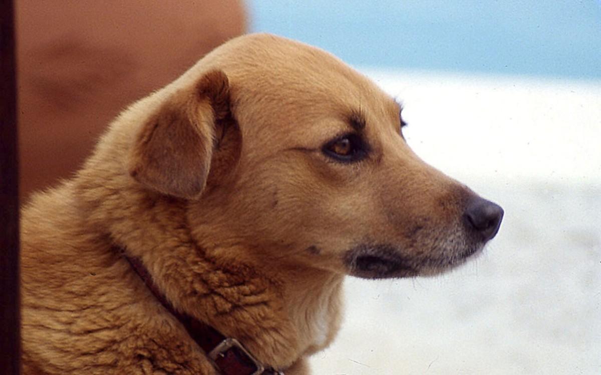 Ear Wax in Dog Ears