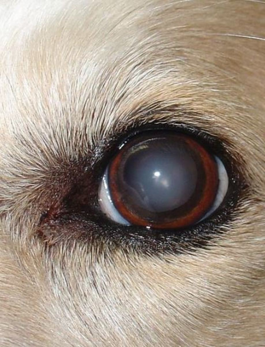 Dog pupil showing cloudiness of nuclear sclerosis.