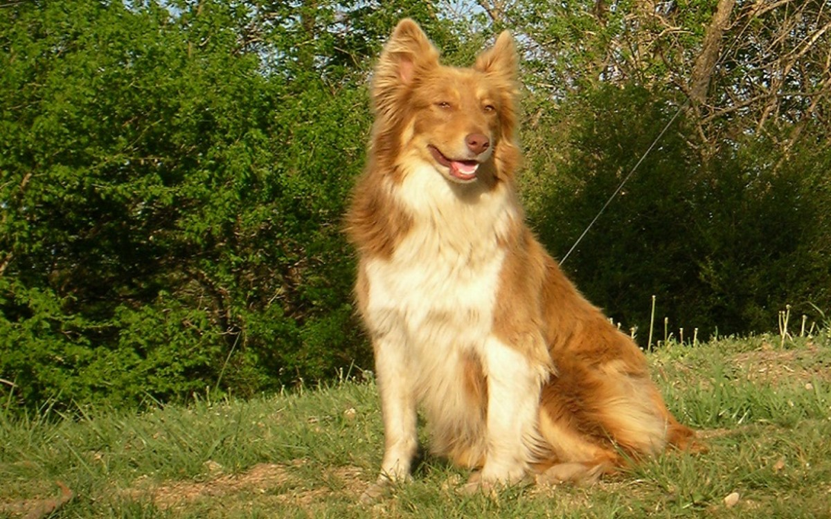 Dogs with Disc Disease IVDD