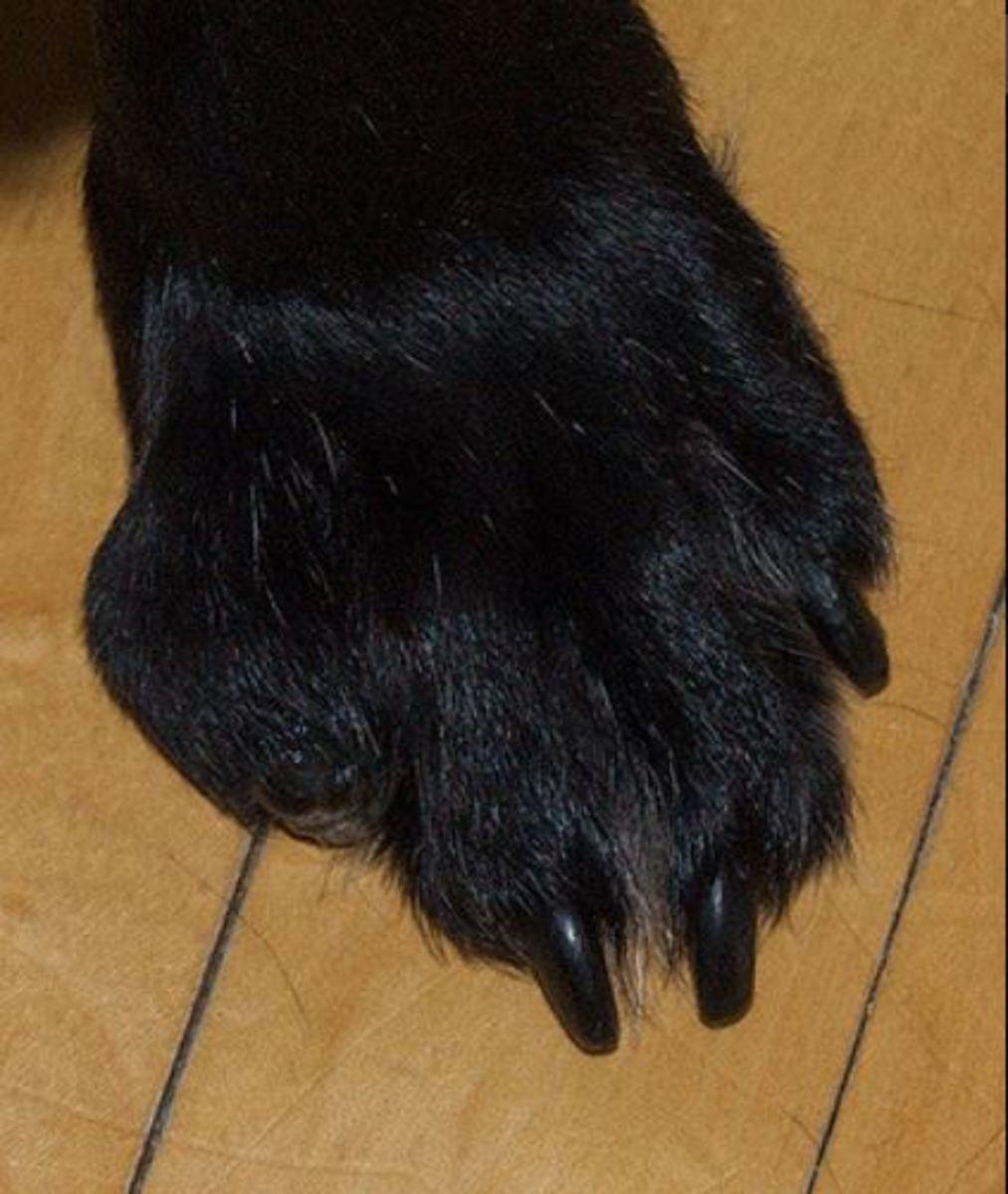 malignant melanoma dog foot