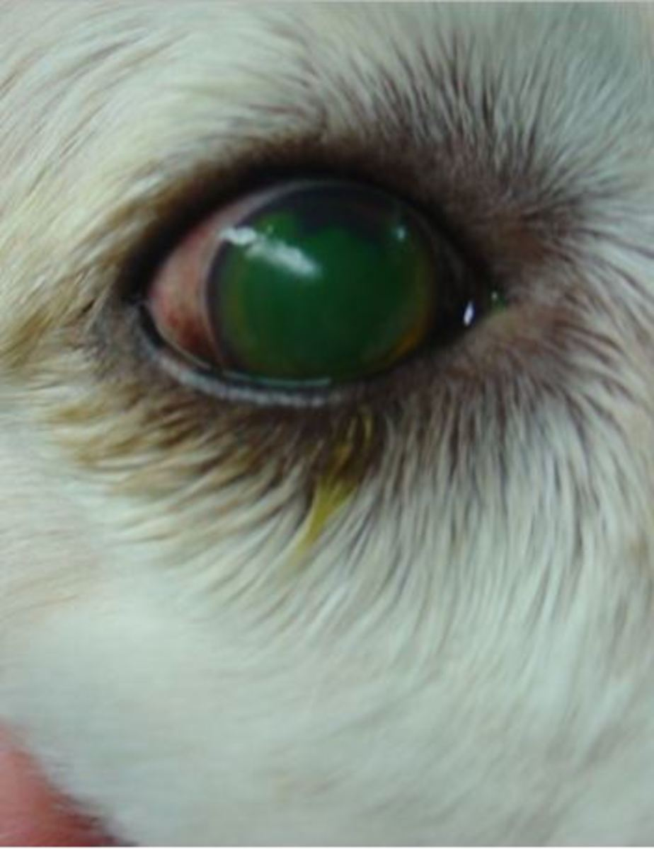 Picture of dog corneal ulcer