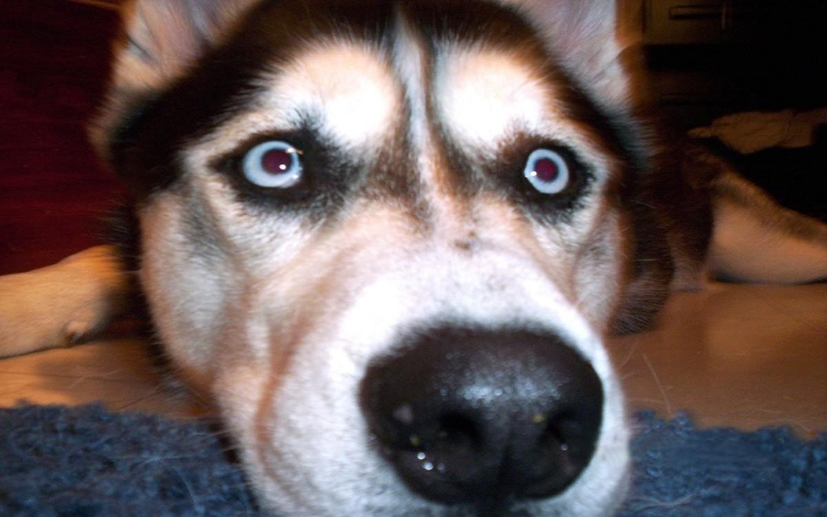 Dog Taking Prednisone