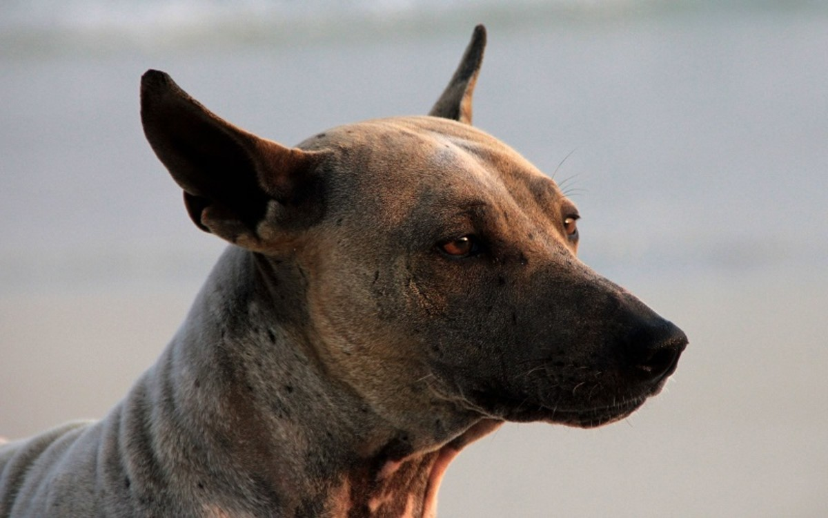 Effects of Steroids on a Dog's Liver