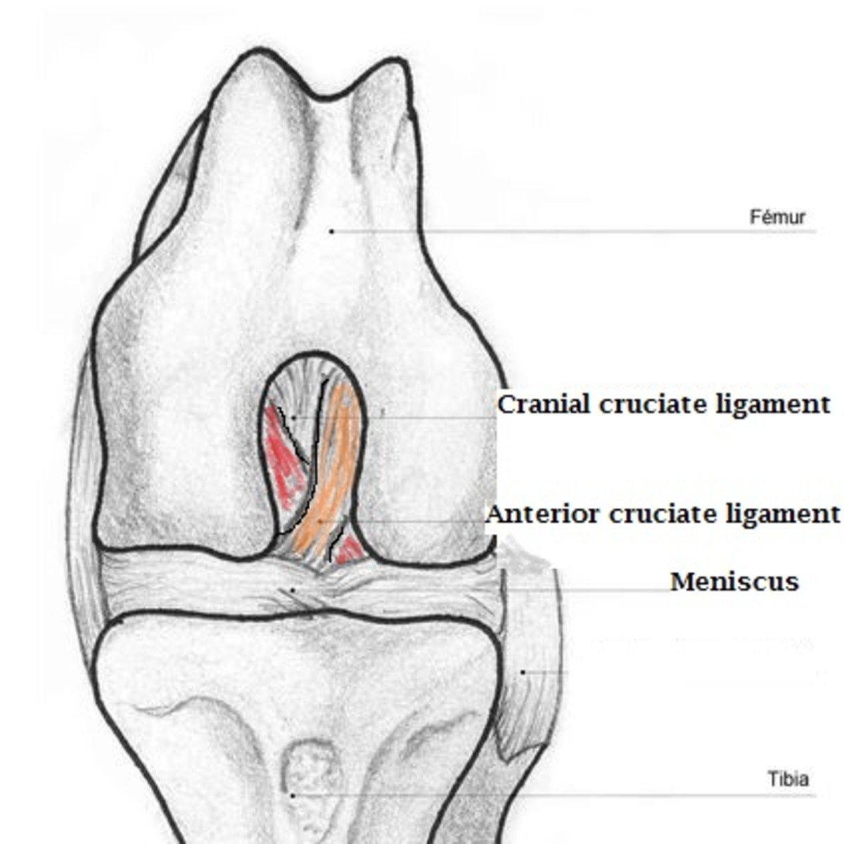 Picture of dog cruciate ligament