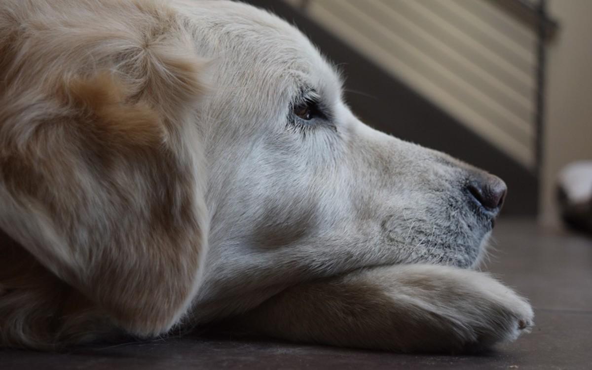 Old Dog Behavior Changes at Night