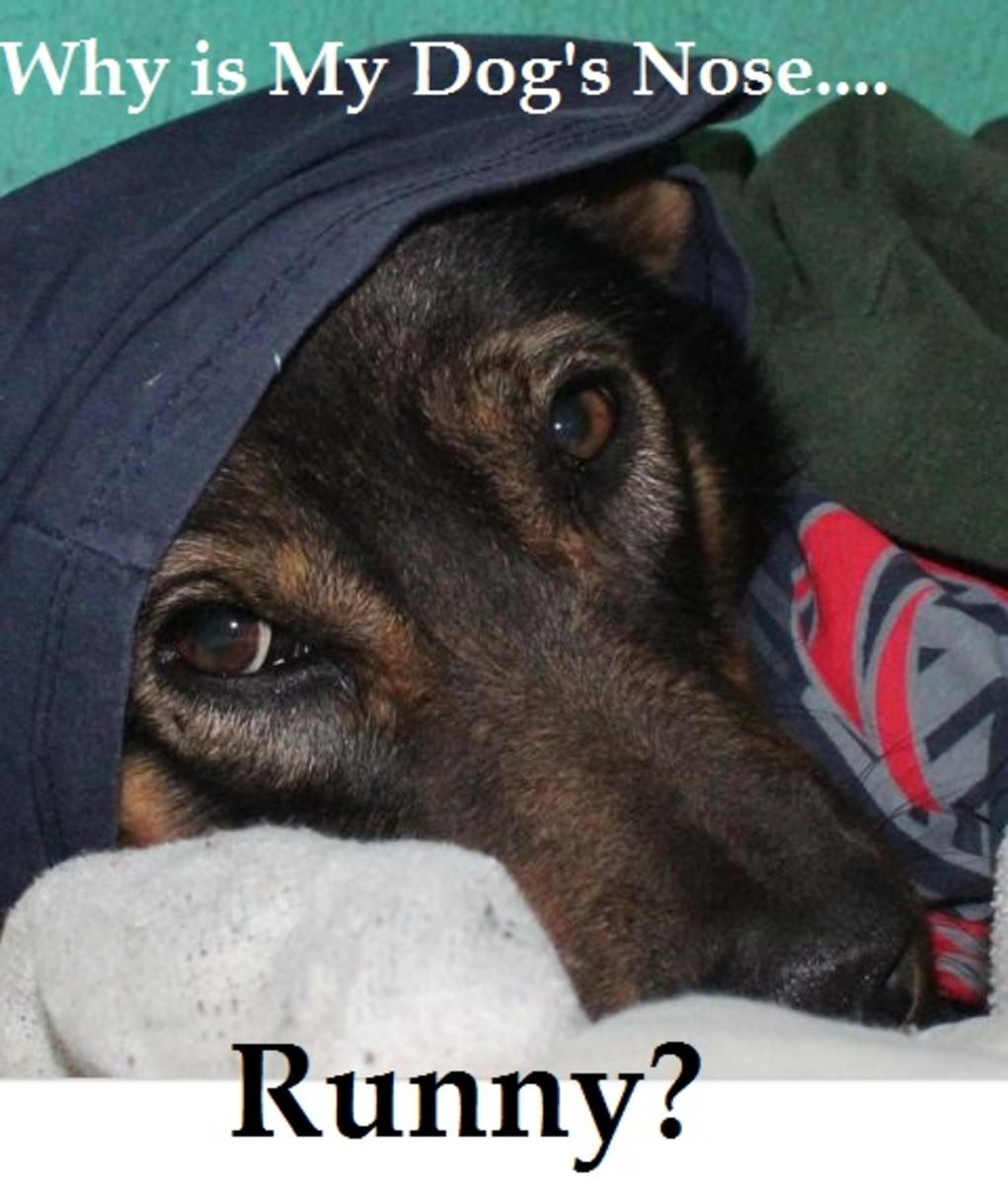 can dog sense human pregnancy