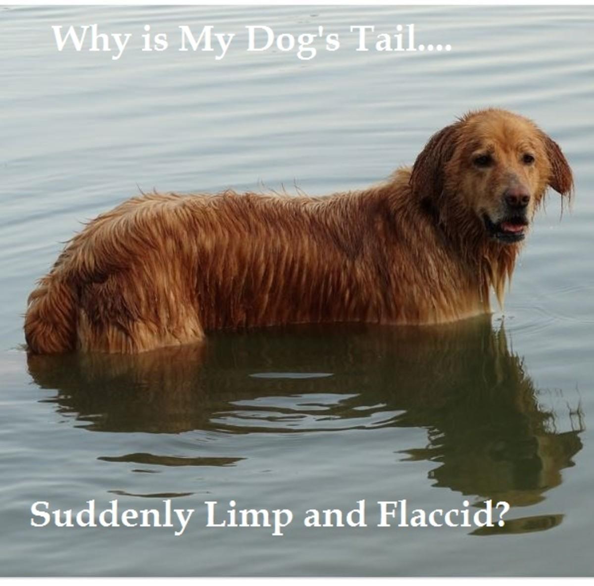 dog limber tail