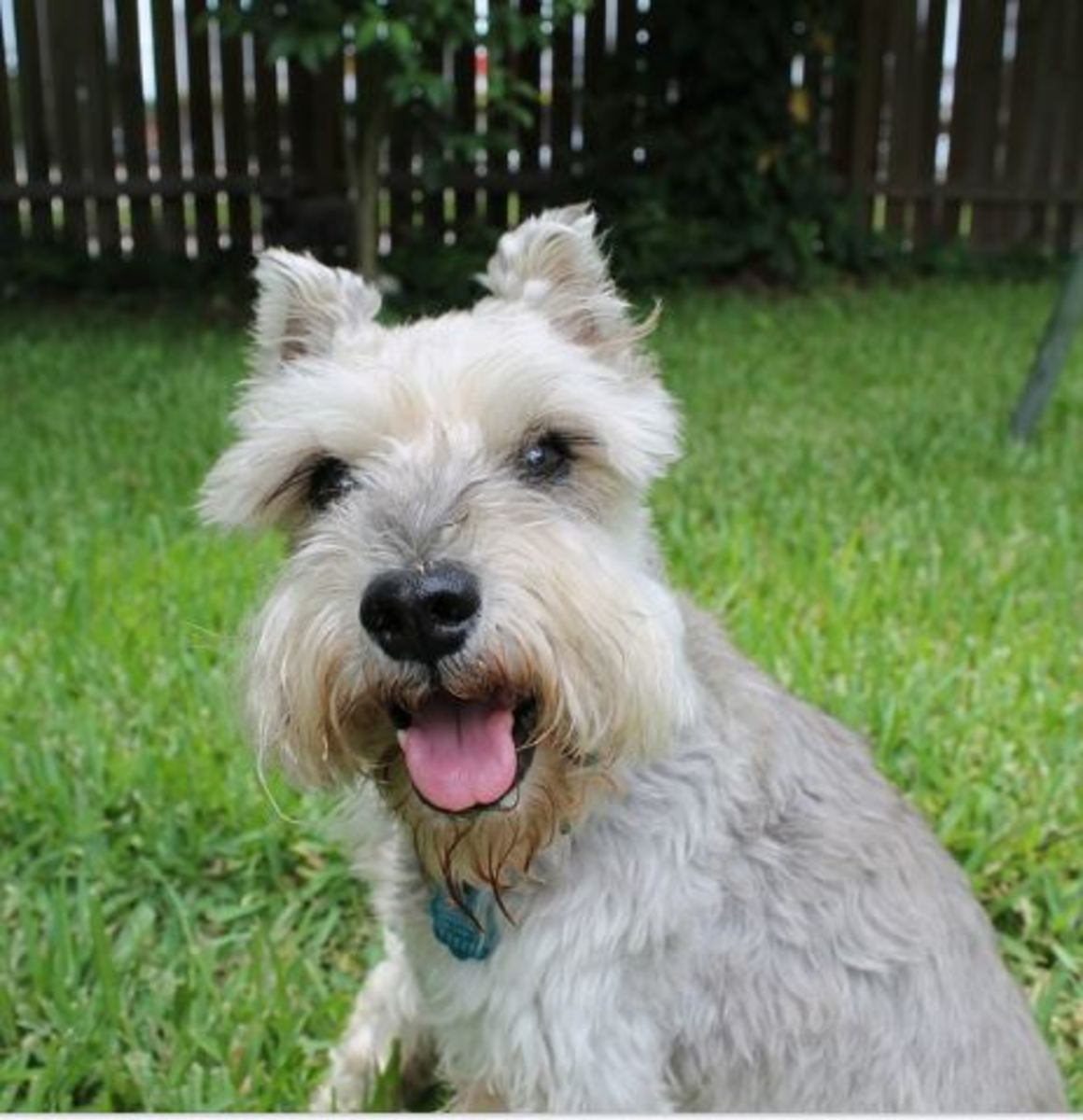 One breed that is at high risk of developing diabetes is the Miniature Schnauzer.
