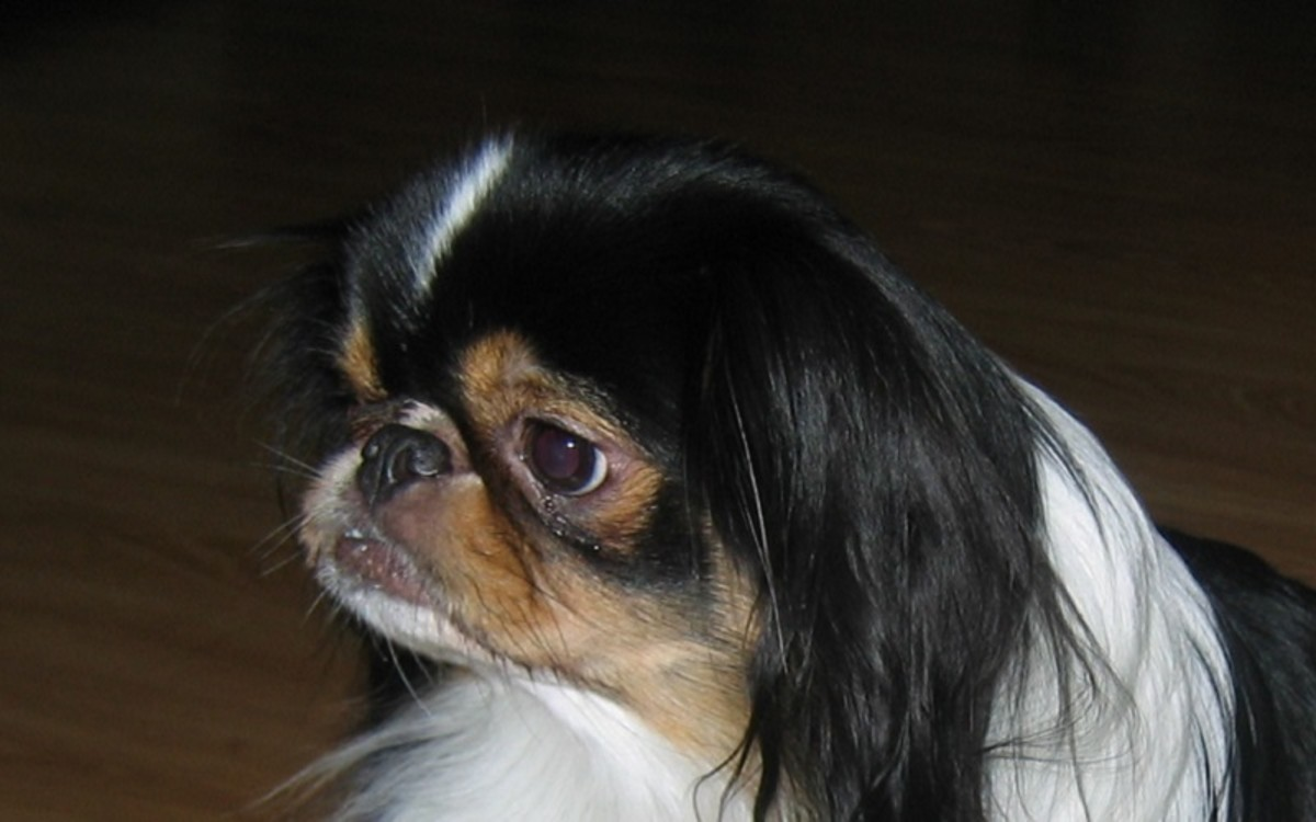 Nose Cancer in Dogs