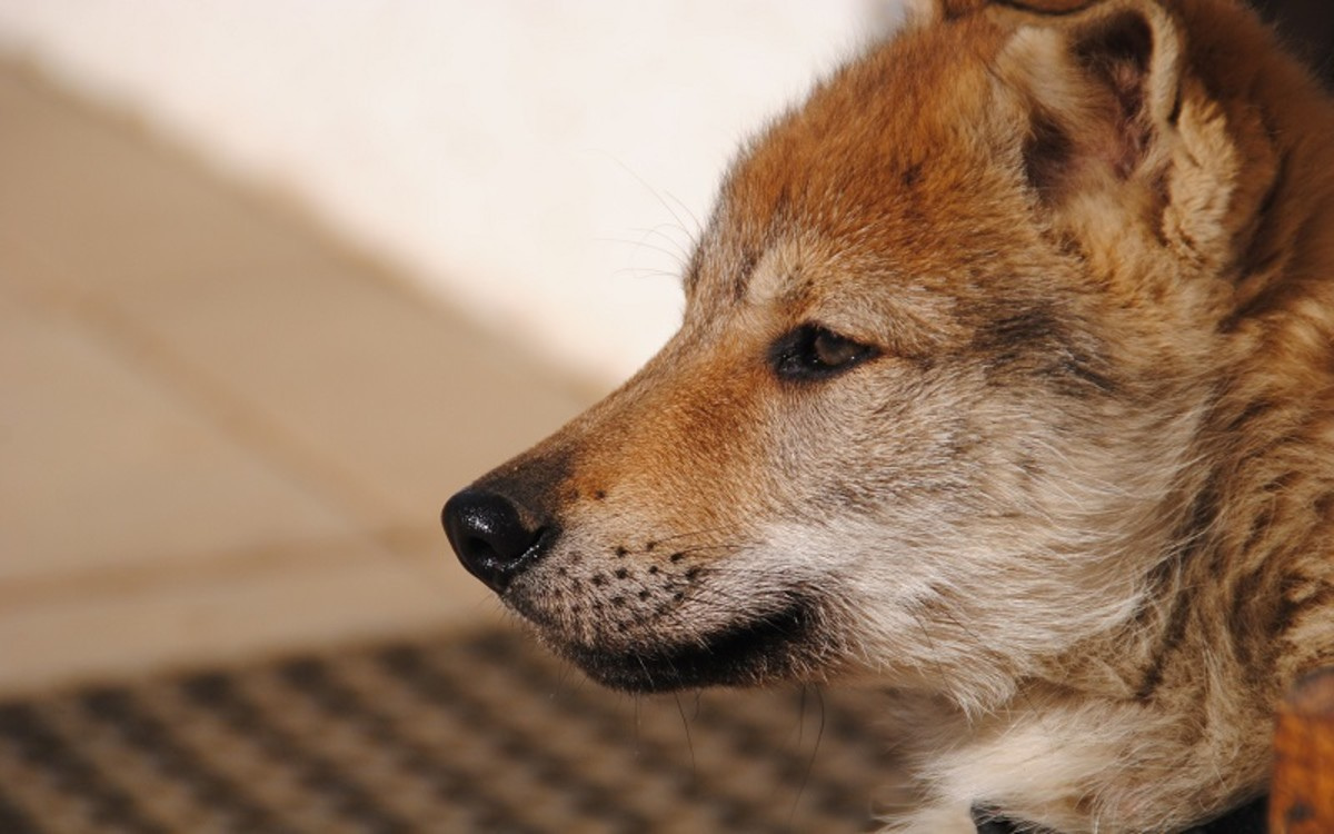 Nose Inflammation in Dogs
