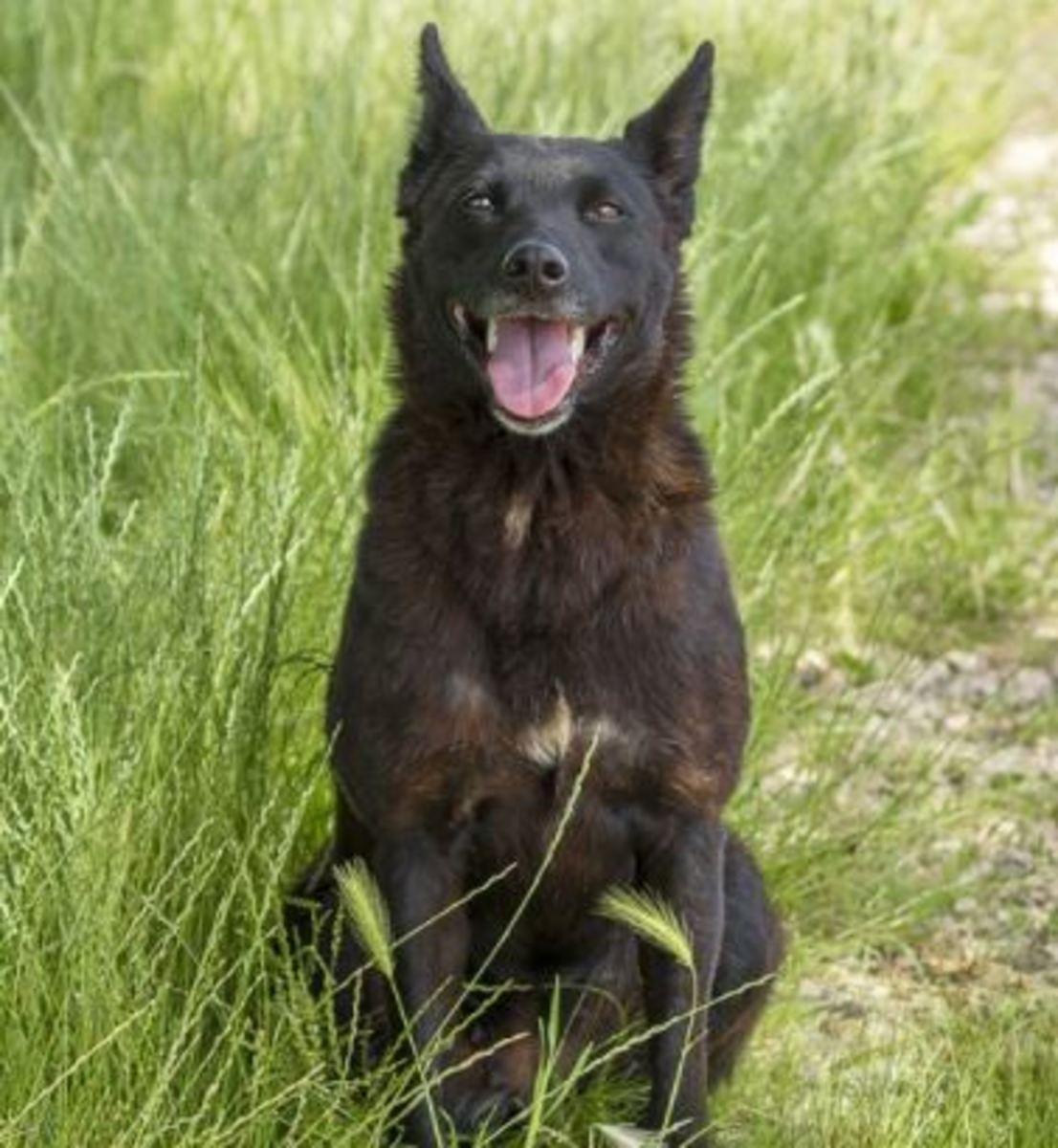 dog-shoulder-injury