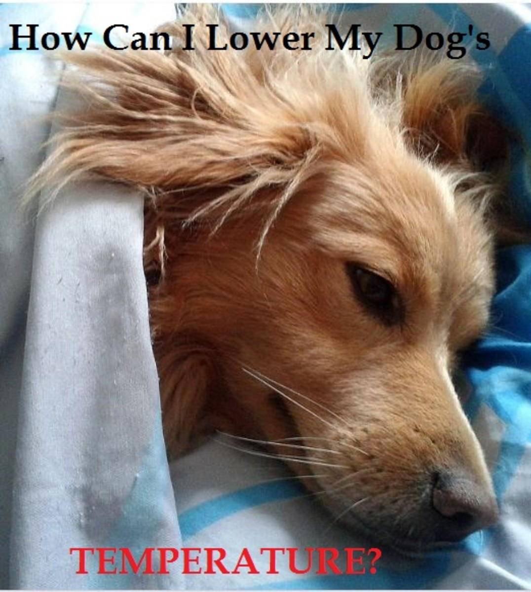 bring dog temperature down