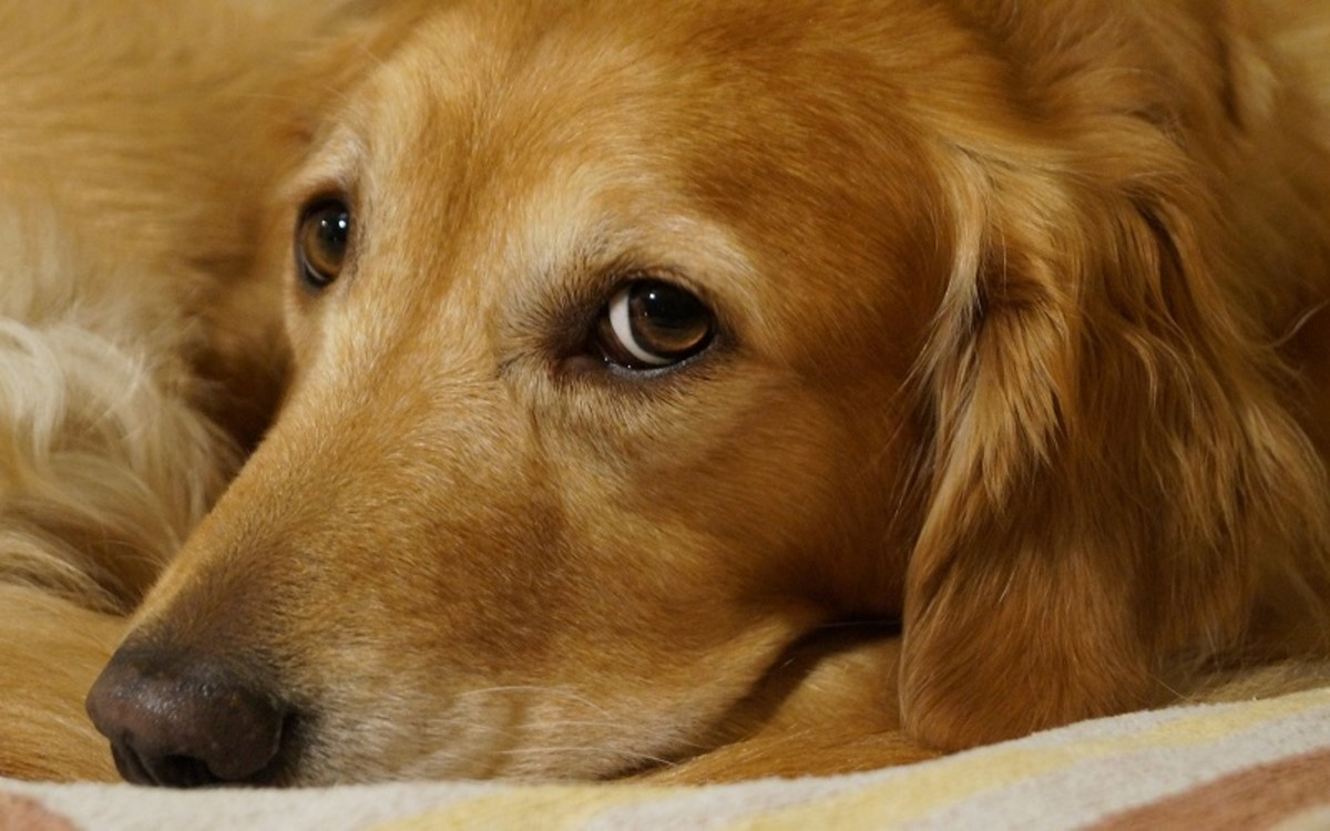 Sensitive Periods in Dogs