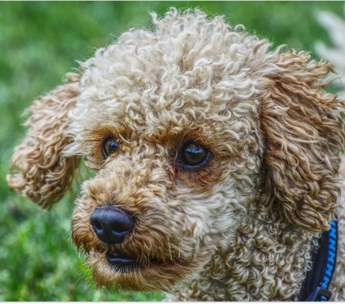 Removing hair from a dog's ear canal is a procedure seen in poodles with ear infections.