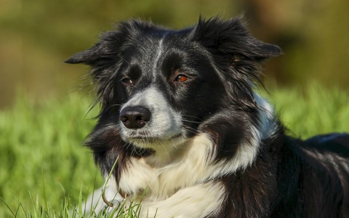 Gangrene in Dogs