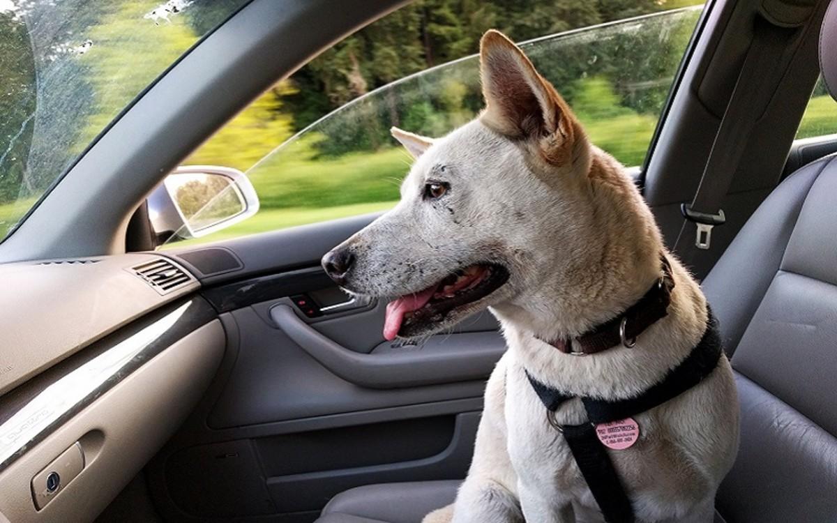 Cerenia for Dogs
