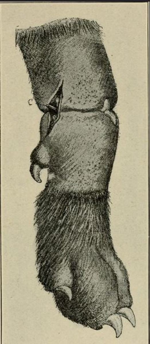 If gangrene has set in the mortifying portion of the leg must be amputated. Source: Surgical diseases and surgery of the dog 1906