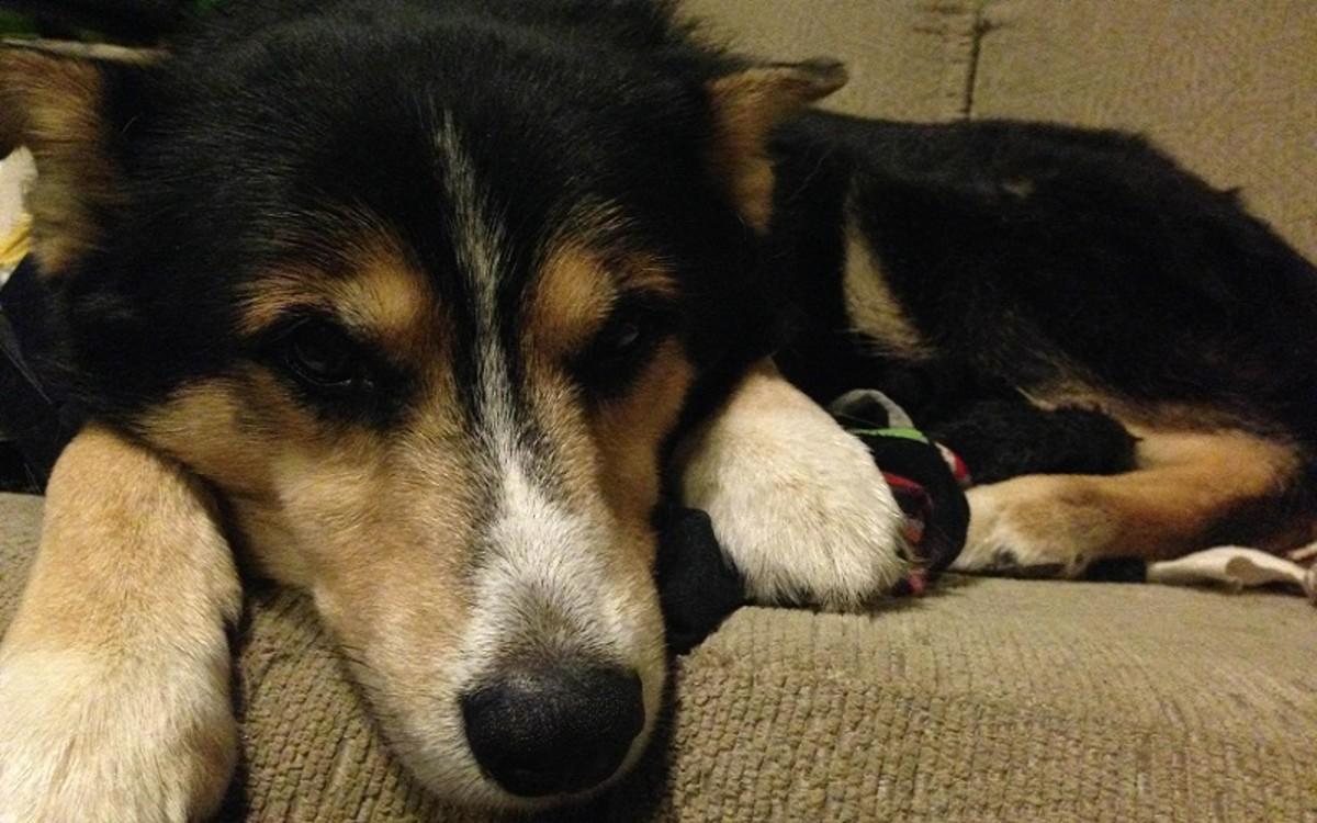 Bone Cancer in Dogs