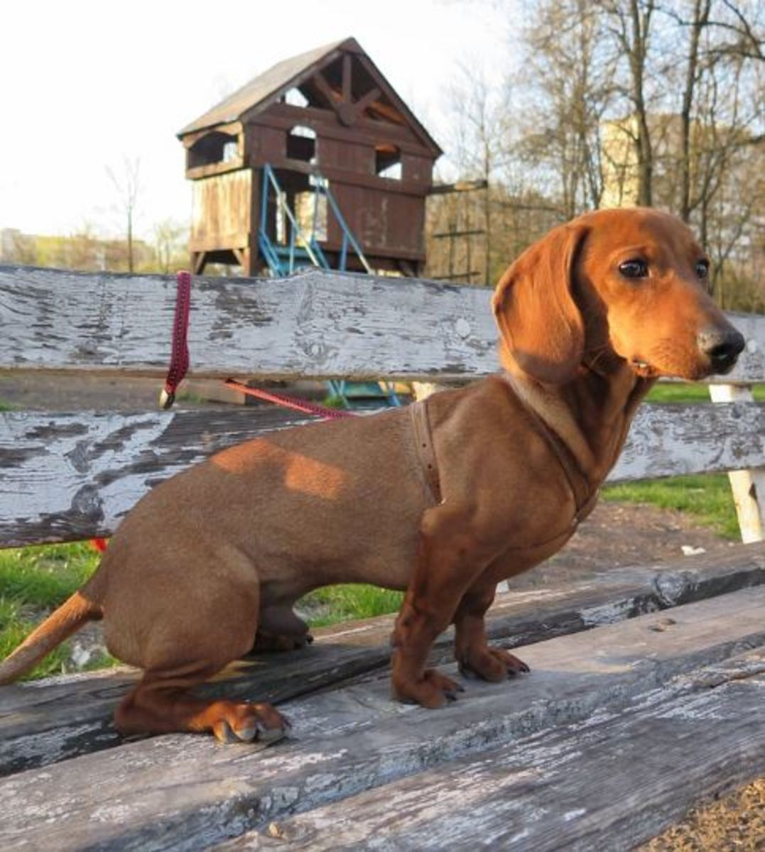 Dachshunds with their long backs are the poster child for IVDD.