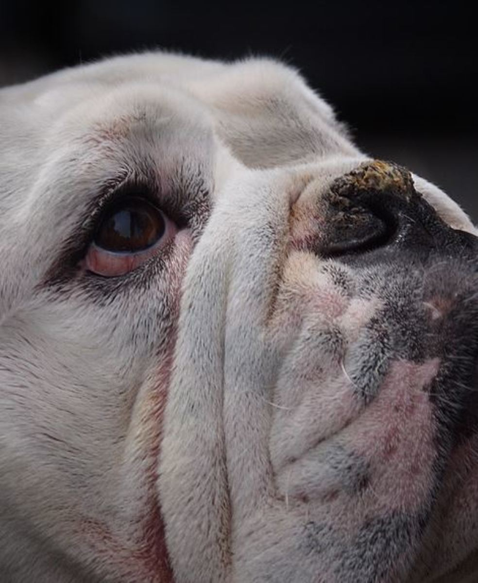 A crusty nose in dog needs investigation by a vet.