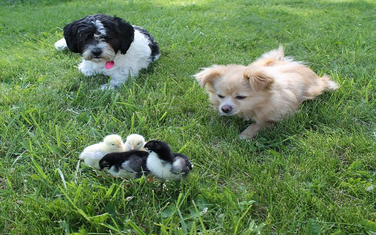 Dogs Get Sick from Chickens