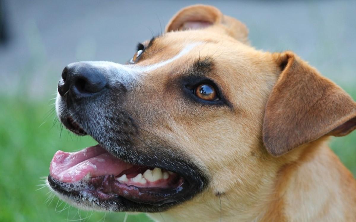 Dog Laryngeal Paralysis Symptoms