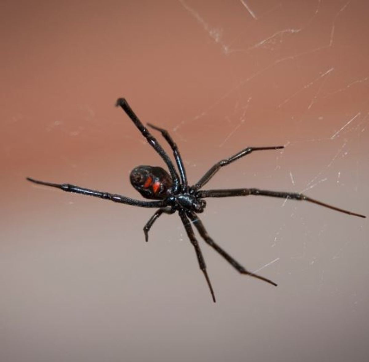 are black widow spiders deadly - 538×528