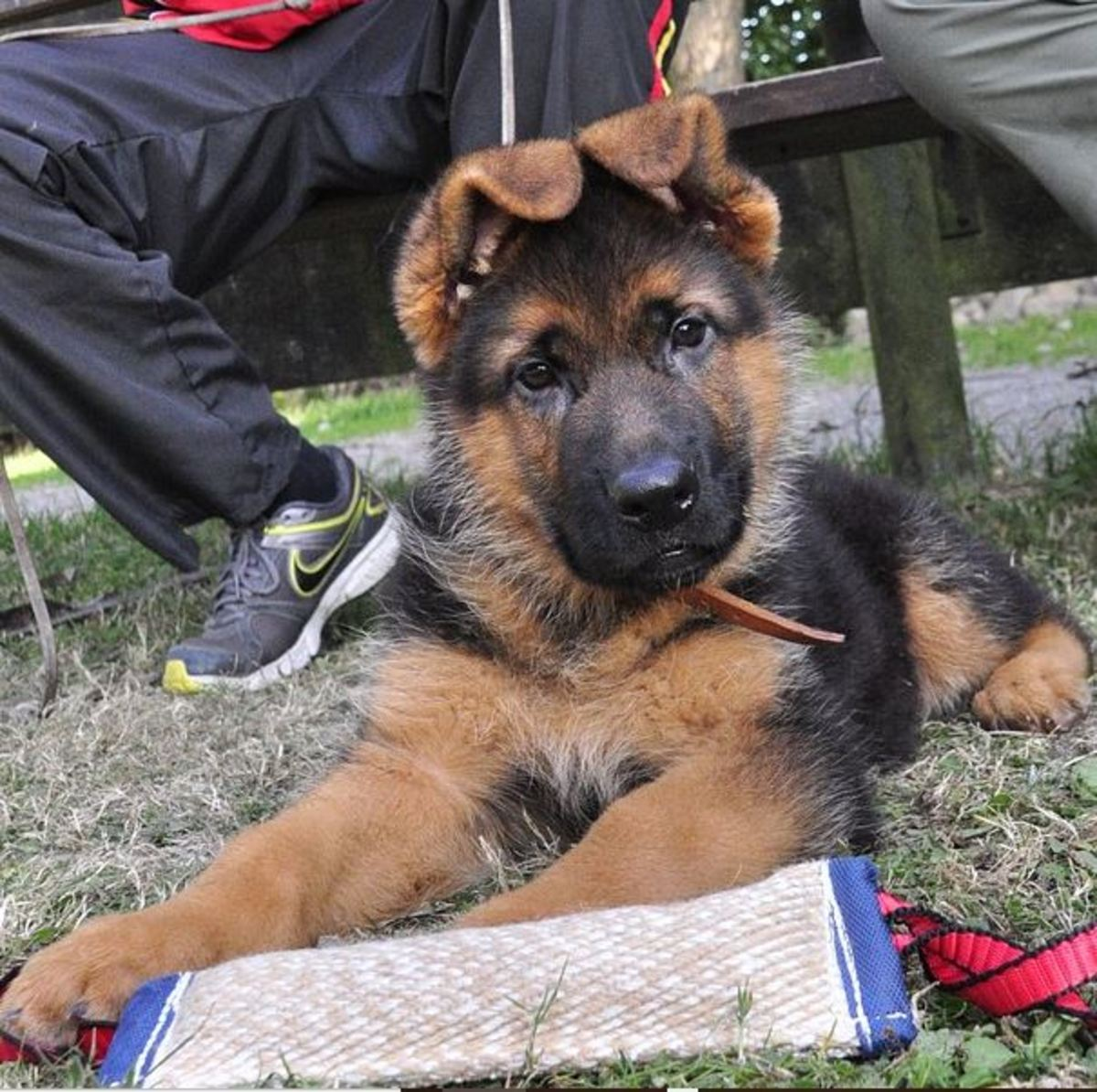 When Do German Shepherd Puppy Ears Stand Up?