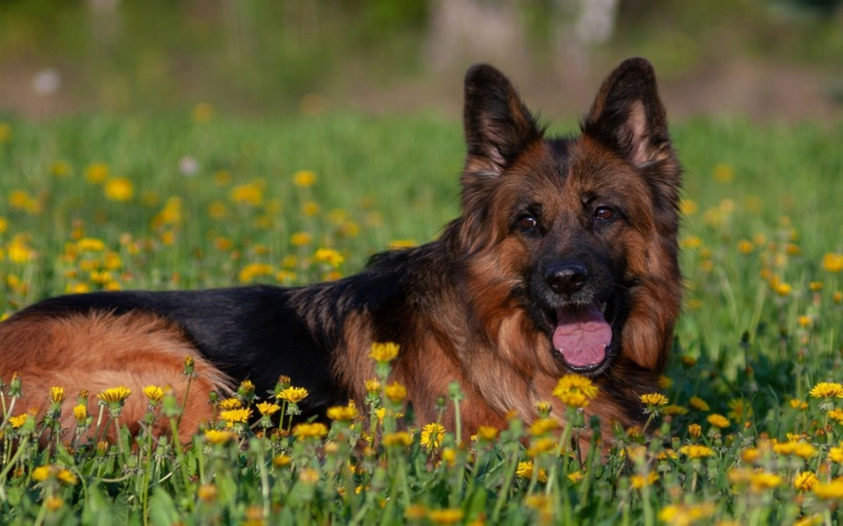 What Causes a Yeast infection in a Dog's Ear