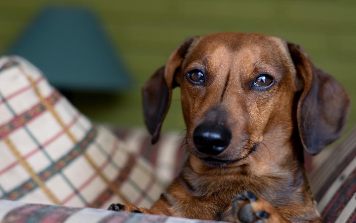 Disc Degeneration in Dogs