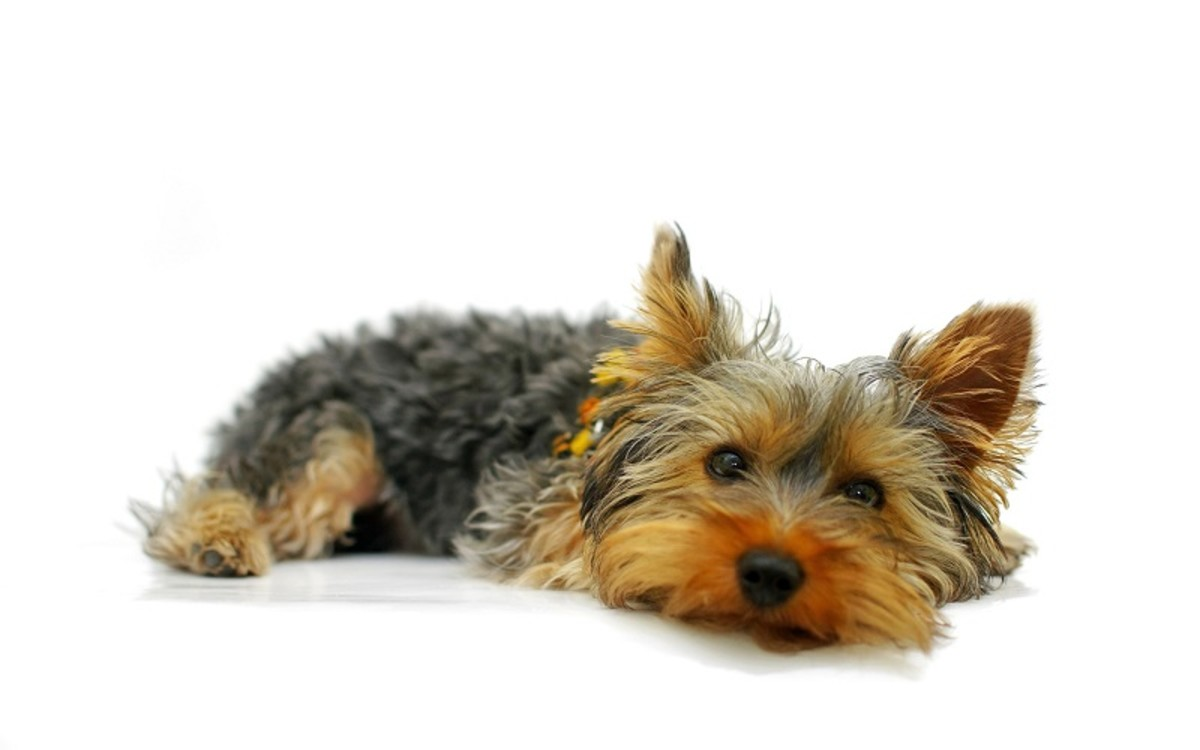 Can Dogs Die From a Collapsed Trachea?