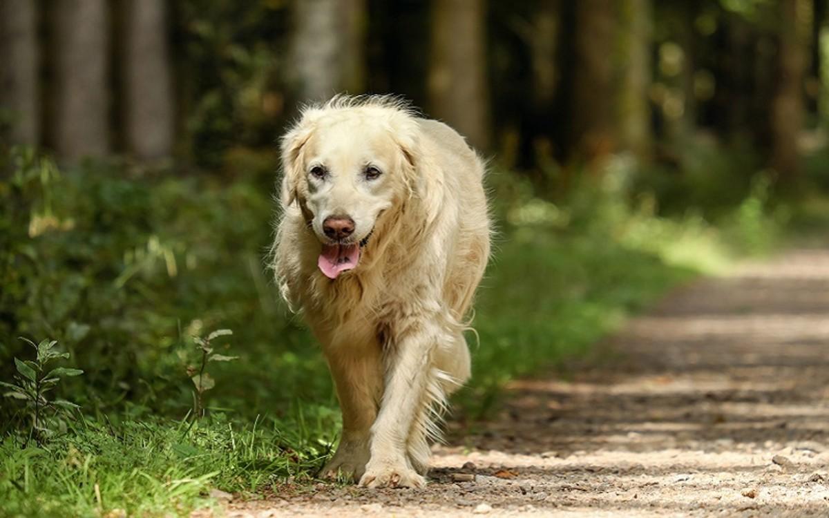 Dog Spleen Cancer