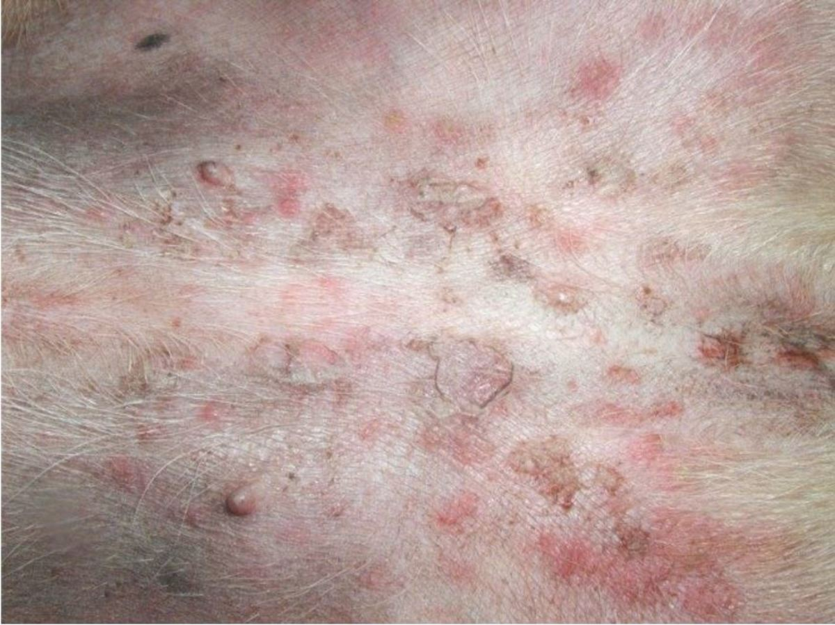 Superficial folliculitis in a Staffordshire bull terrier with atopic dermatitis.