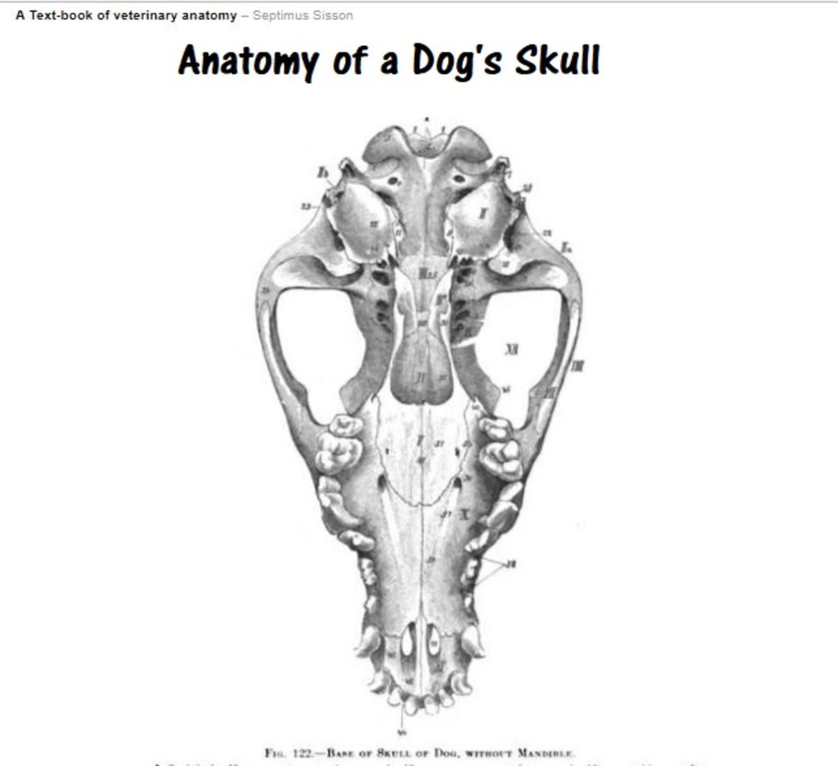 dog skull anatomy