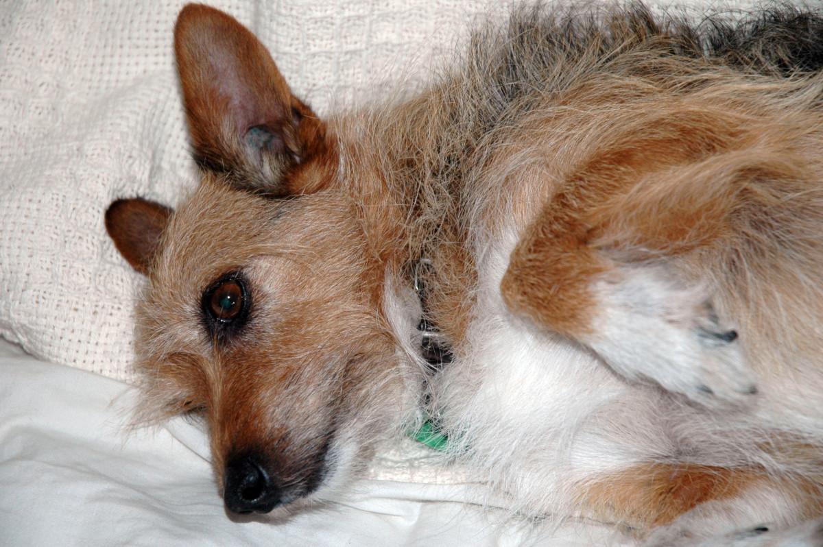 My Vet Found Rod Bacteria in My Dog's Ears