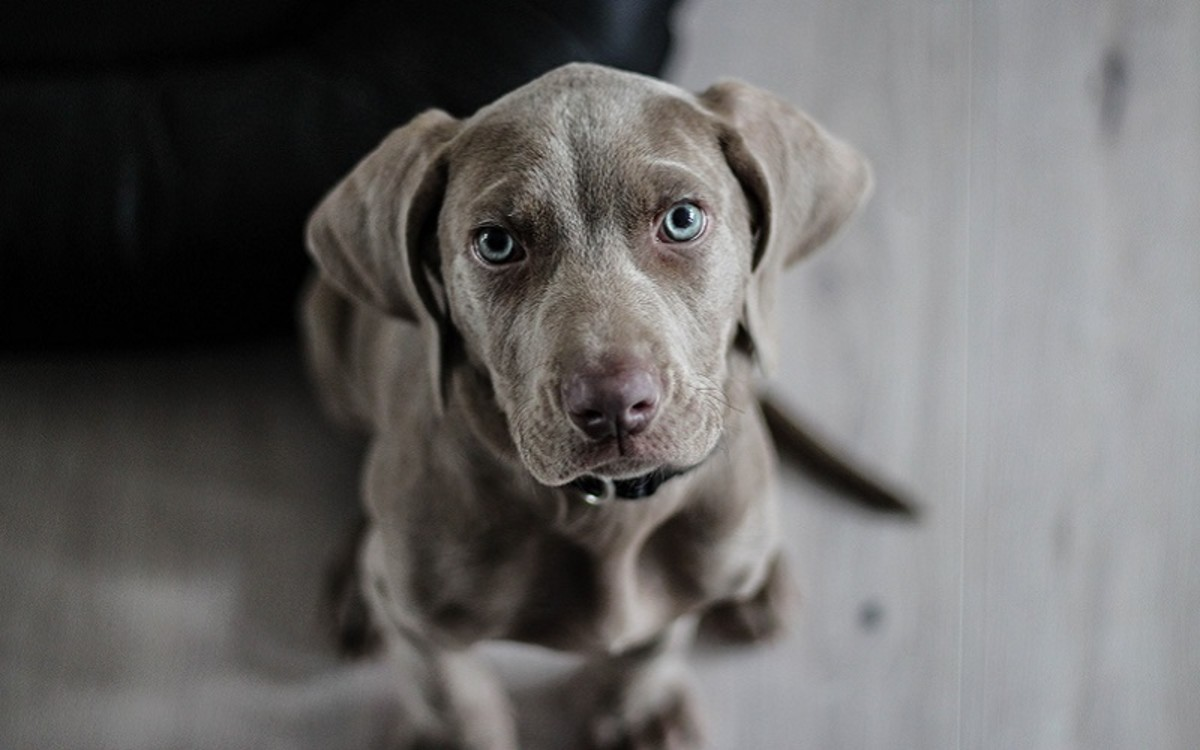 Dogs with Liver Cancer