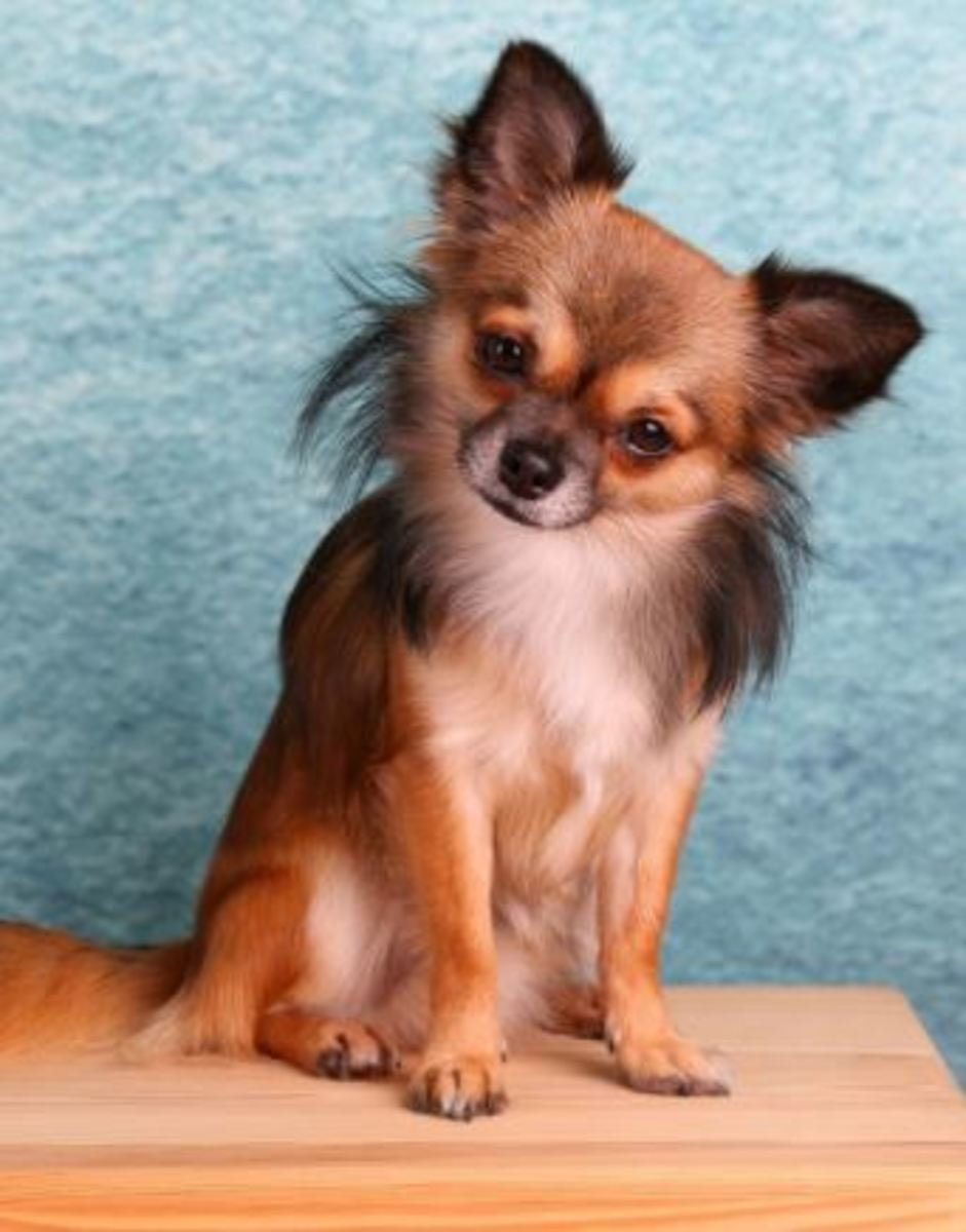 Collapsed trachea is common in Chihuahuas