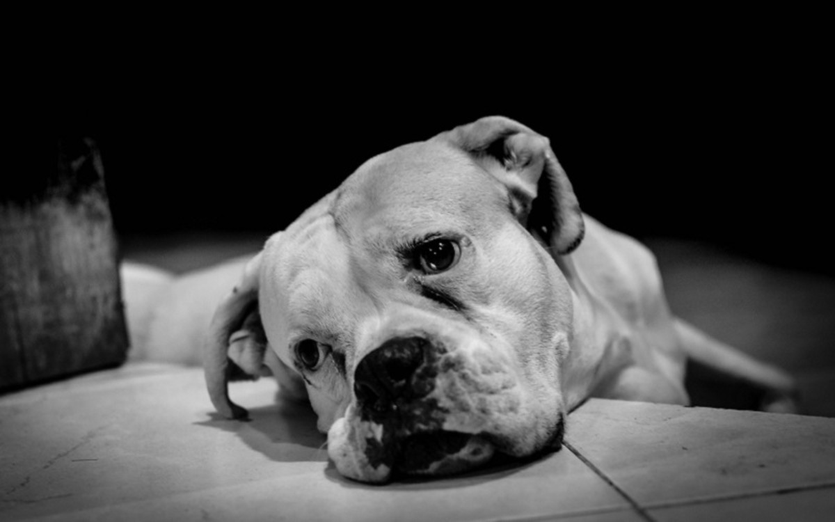 Steroids in Dogs
