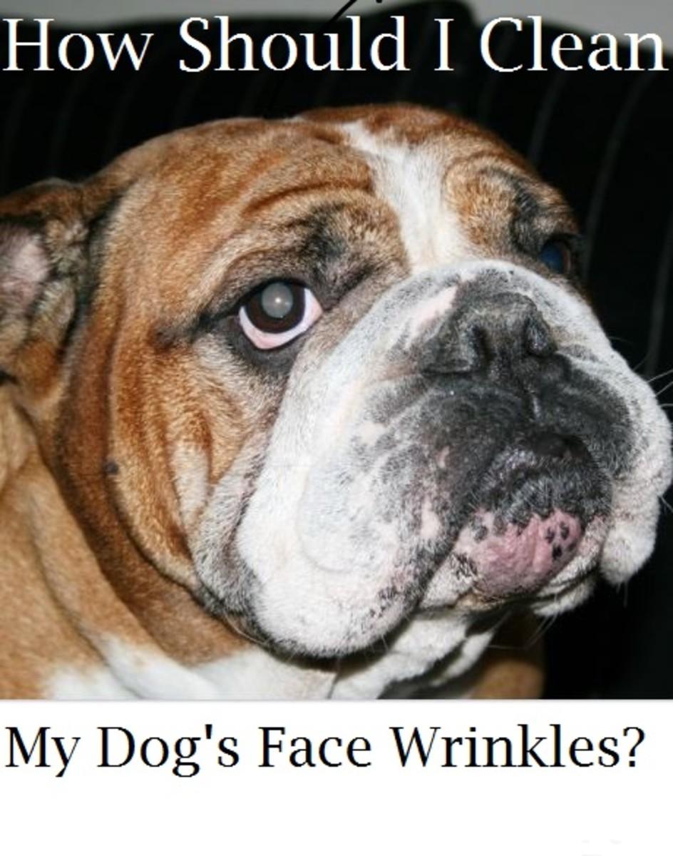 bulldog face wrinkles