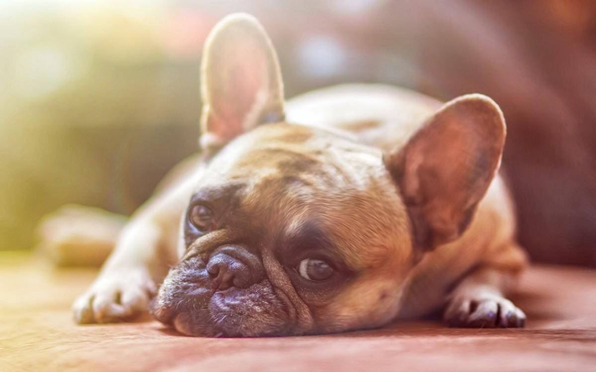 Dog Glaucoma Eye Removal