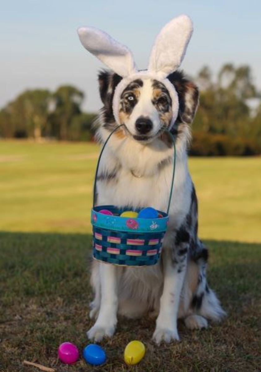 can dogs eat rabbit poop