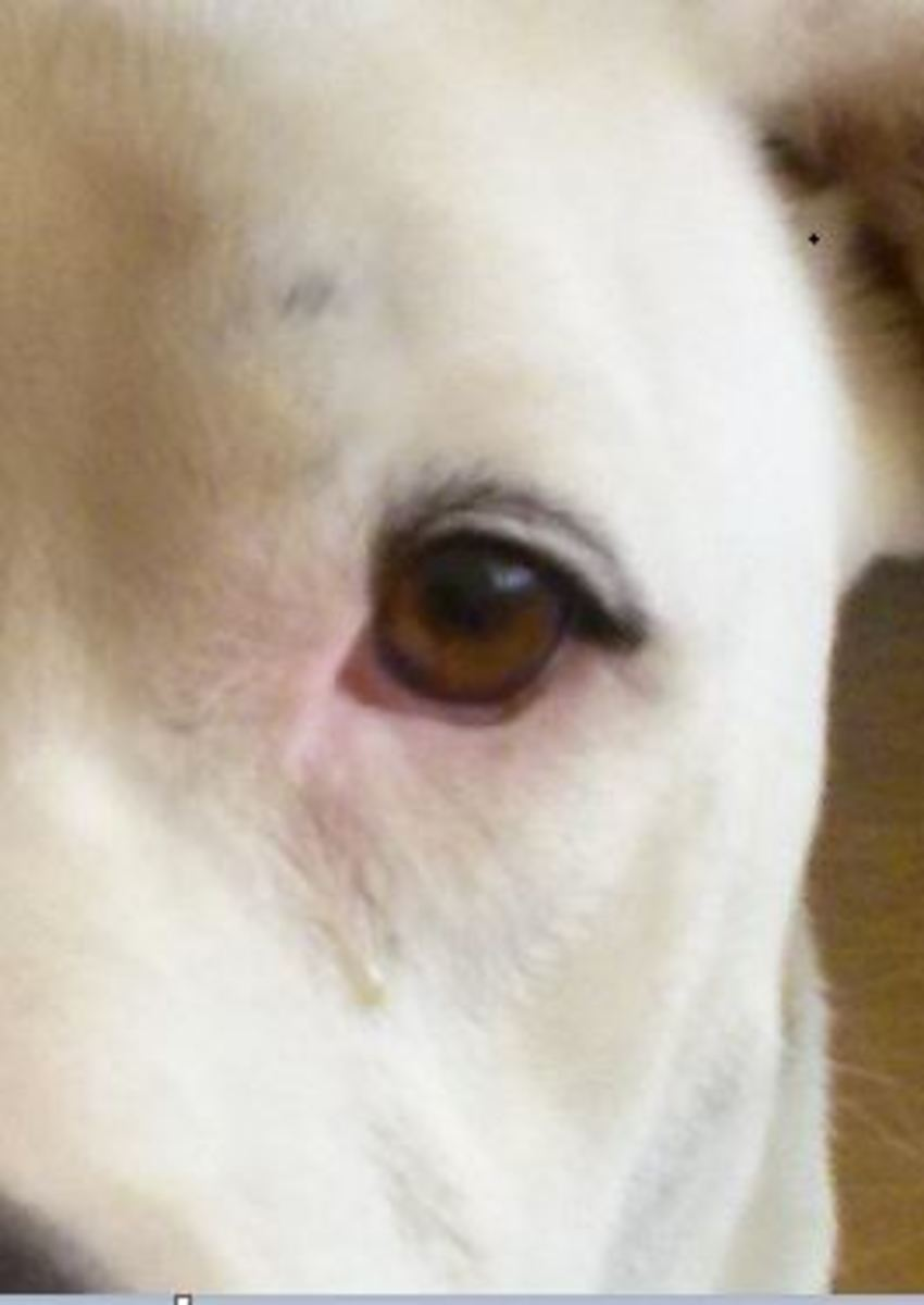 how to soften dog eye discharge