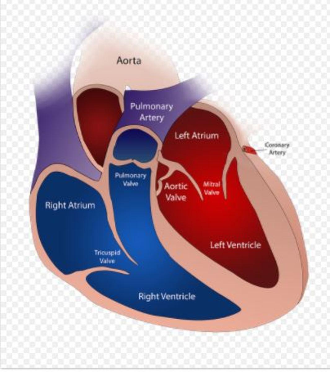 heart anatomy dog