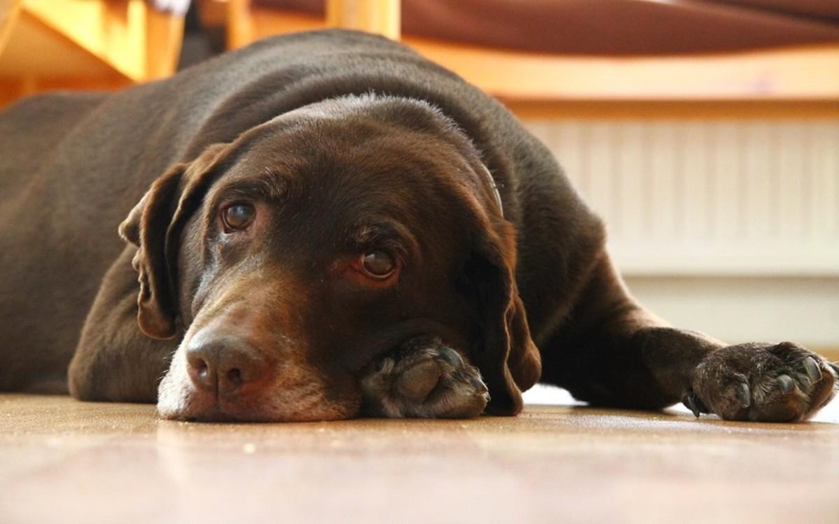 Dog's Vagus Nerve