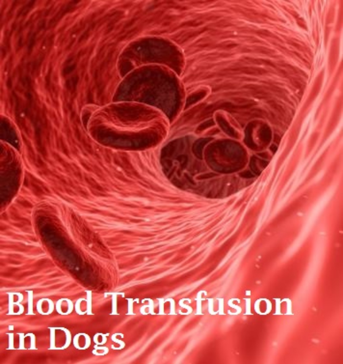 dog red blood cells