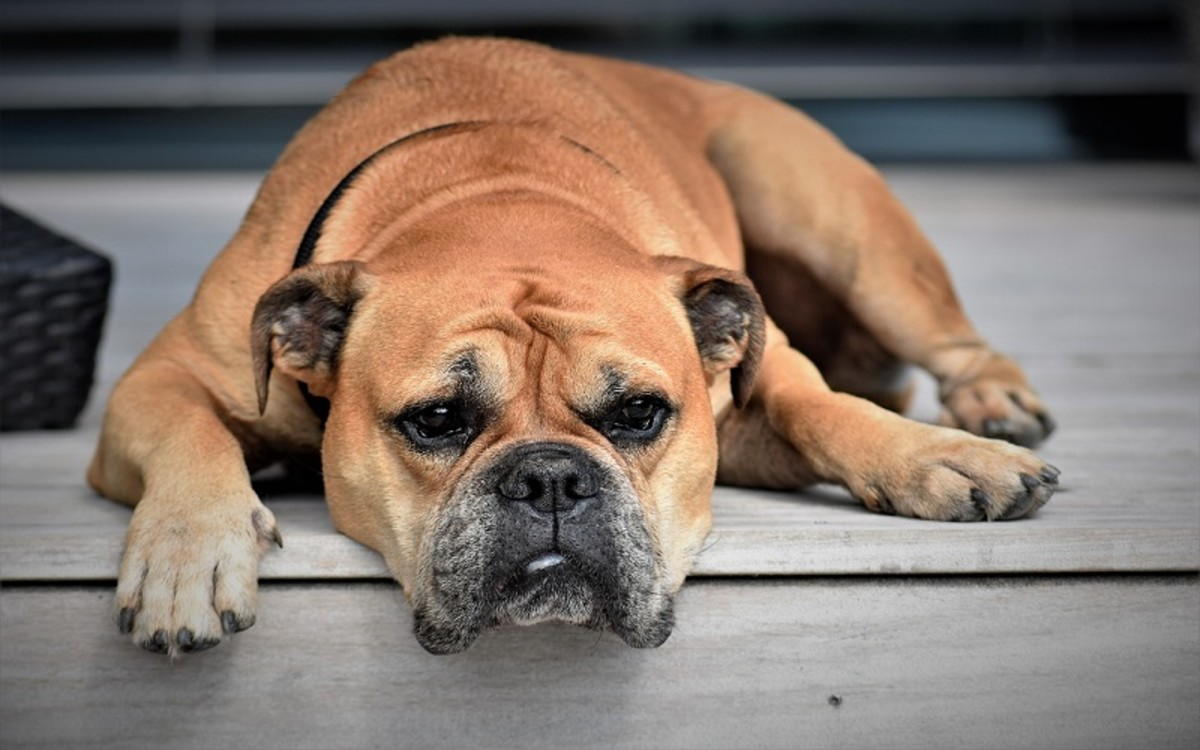 Enlarged Liver in Dogs