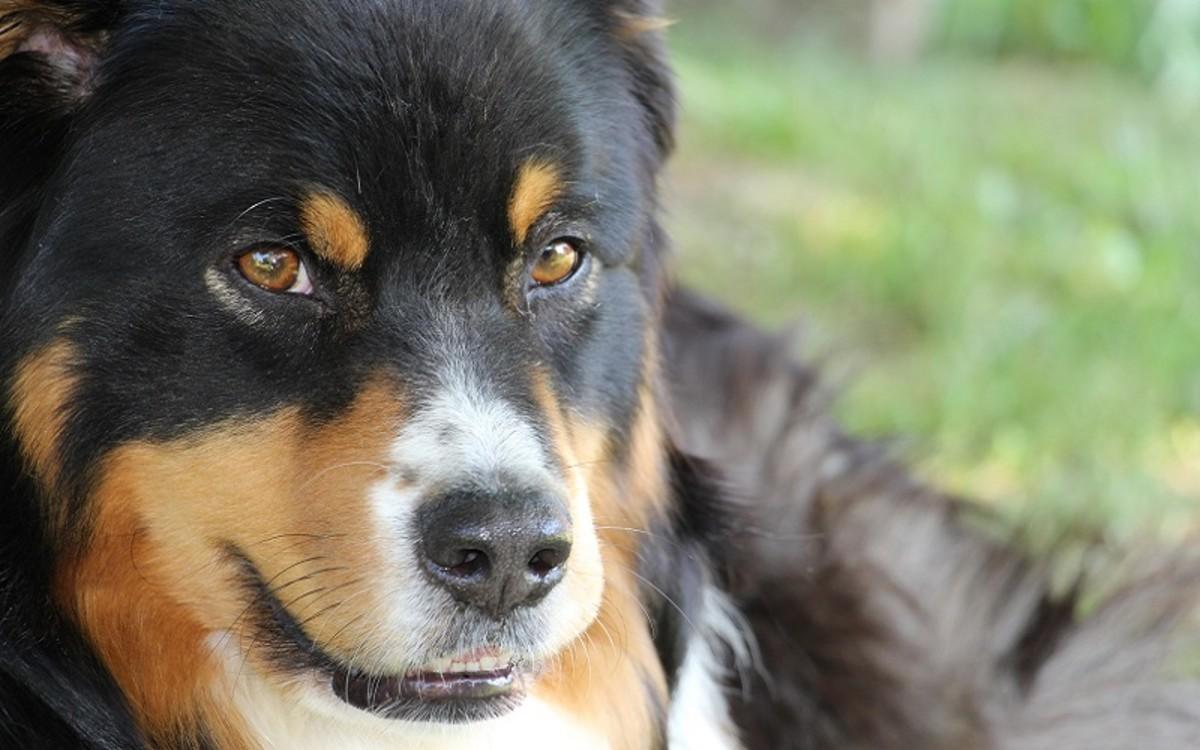 Perianal Fistulas in Dogs