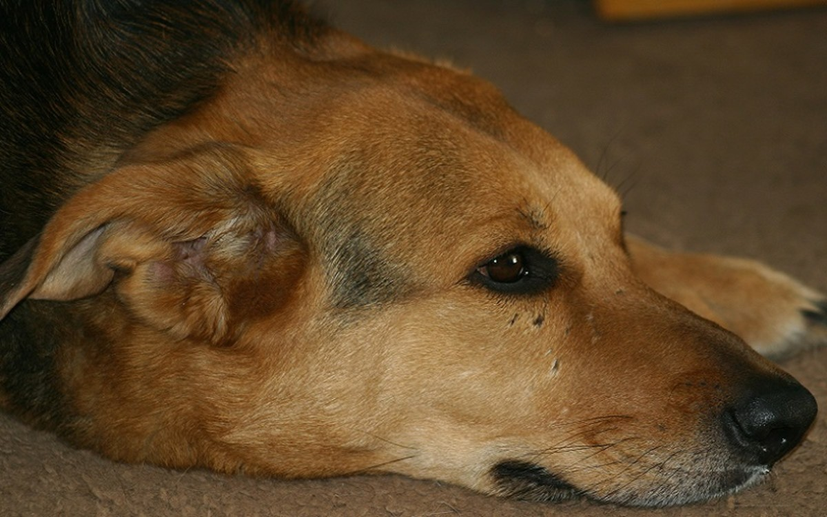 Dog Laryngeal Paralysis Surgery Cost
