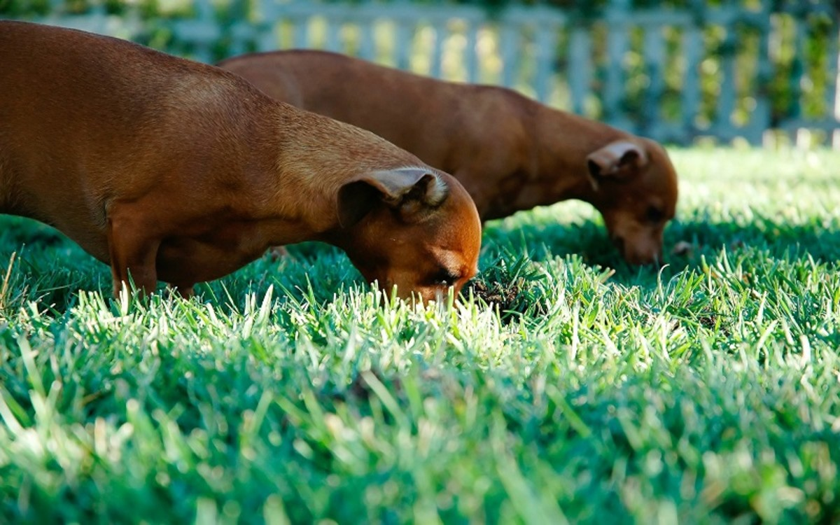 Dog Eating Grass and Vomiting