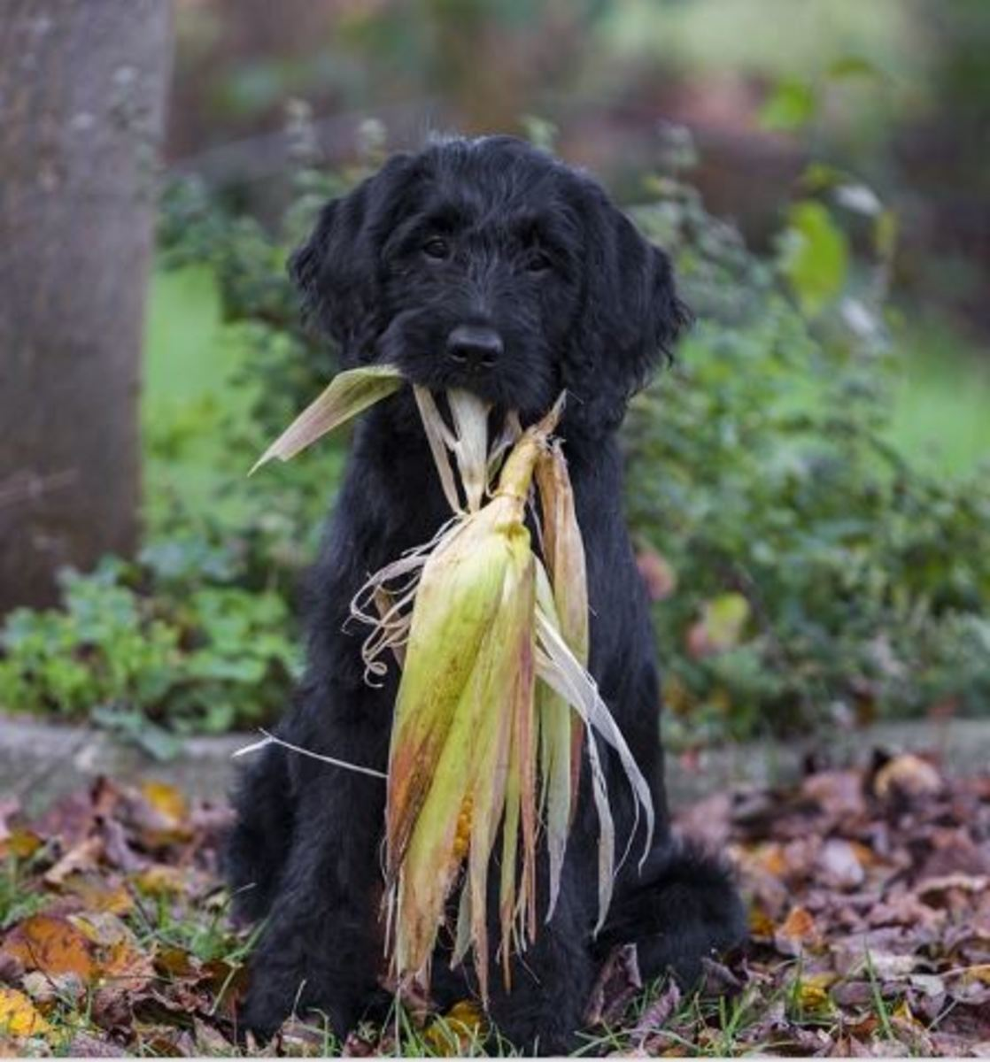 Help, my dog swallowed a corn cob